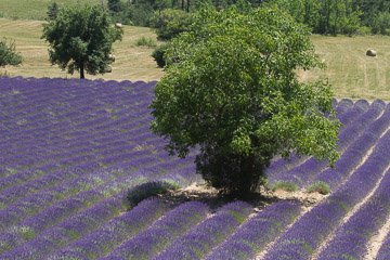 The Rythm of Lavender
